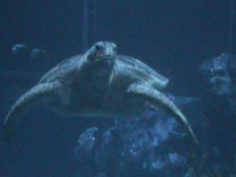 A SEA TURTLE!!!! by Jaws1996