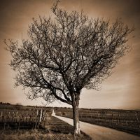 sepia tree by crh