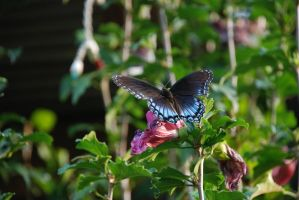 blue and black butterfly by cdamama