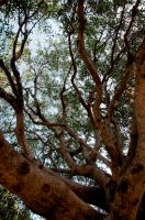 Olive tree by Gabarte