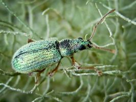 Green Weevil by iriscup