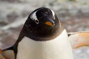 The penguin by JJPhotography