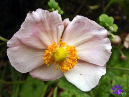 Japanese Anemone 001 (20.09.13) by LacedShadowDiamond
