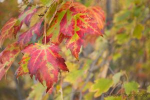 Red Morning Leaves by ThirdGearPhotography