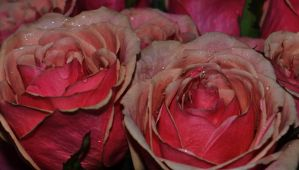 Pink Roses 2 by tastybedsore