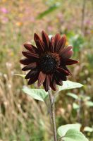 chocolate sunflower by snoogaloo