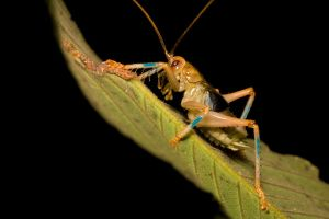 Cricket 2 by melvynyeo