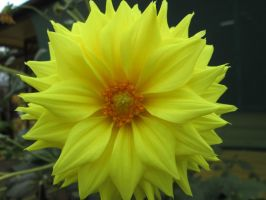 Yellow Dahlia by BlueberryCrazy