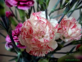 White and Pink Carnation by Xiuhcoalt