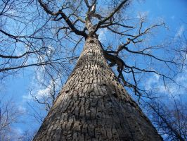 Old stately Tulip Poplar by DHuff-art