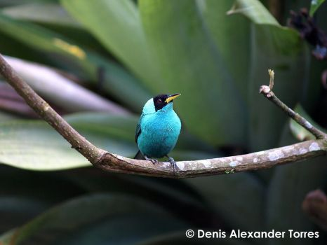 Green Honey Creeper Male by torreoso