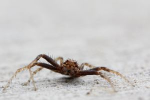 Ground Crab Spider (Xysticus) by suhleap