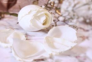 Soft white rose 2 by FrancescaDelfino