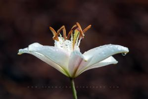 Lily Jeweled by TruemarkPhotography
