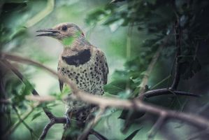 Woodpecker Song by clippercarrillo