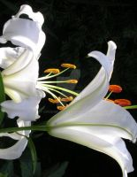 white lily 2 by GreenMusic