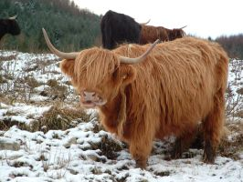 Highland Coo by Winged-Devil