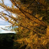 larches 2 by Blue-eyed-Kelpie