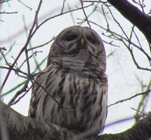 Barred Owl Is Watching by LovingLivingLife