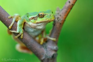 Hyla arborea VII by Dark-Raptor