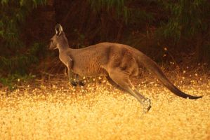 Western Grey Kangaroo. by no-soap-was-harmed