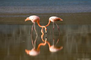 Flamingos Heart Shape by AaronPlotkinPhoto