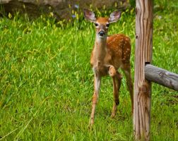 Fawn at the Fence by LAlight