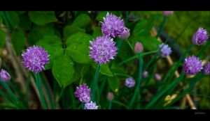 Chives by Jack-Nobre