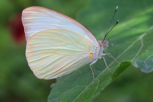 Southern White Butterfly 3 by Monkeystyle3000