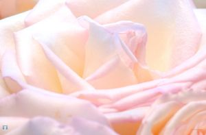 Roses by nycteris