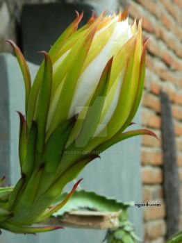 Dragon fruit flower by ngasih