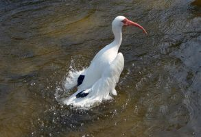 White Ibis Bird Stock Photo DSC 0480 by annamae22