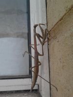 Large Brown Stick Mantis by Drhoz