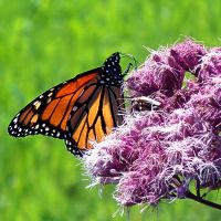 Monarch Butterfly 4 by Penny-Stock