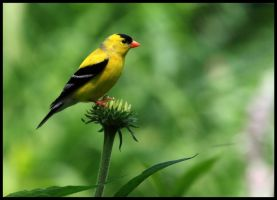 American Goldfinch by raistlin306