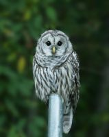 Barred Owl by queegqueg