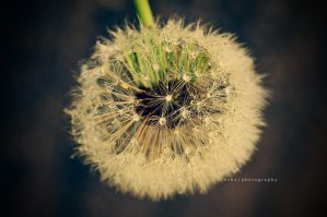 d is for dandelion II by ntscha