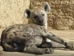 Spotted Hyena 02 by animalphotos