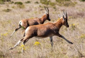 Running Blesbok by PhilippeduPreez