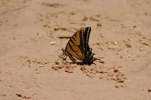 Butterfly Resting on the Sand by MogieG123