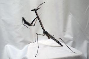 Empusa2 by HubcapCreatures