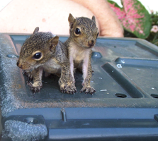 Baby Squirrels by xxsugarcookie