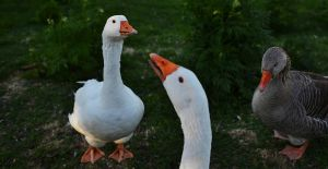 Geese by kissbomb