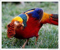 Golden Pheasant by Eman333