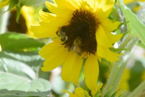 Sunflowers Are Buzzing, Together by Miss-Tbones