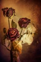 Roses by Dreena
