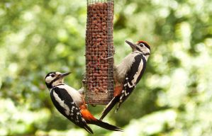 Woodpecker Mother and Young by Xs9nake