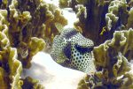 spotted trunkfish in fire coral by g--f