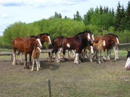 Clydesdale Family 4 by okbrightstar-stock