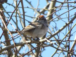 Chipping Sparrow by LovingLivingLife